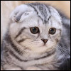 Raza de Gato - Scottish Fold