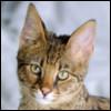Raza de Gato - Ashera