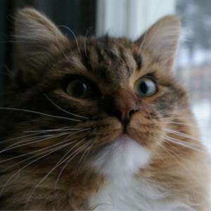 Raza de Gato Siberiano