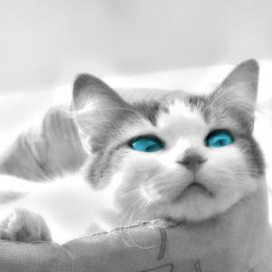 Raza de Gato Ojos Azules