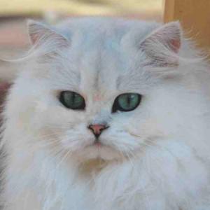 Raza de Gato Persa Chinchilla Silver