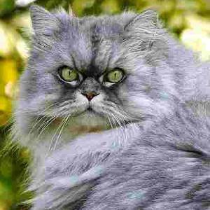 Raza de Gato Persa Shaded Silver