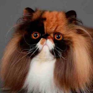 Raza de Gato Persa Calicó
