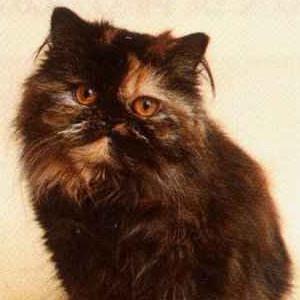 Raza de Gato Persa Carey