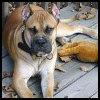 Alano español - Razas de Perros