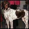 Antiguo perro de muestra Danés - Razas de Perros