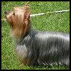 Australian Silky Terrier - Razas de Perros