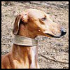 Azawakh - Razas de Perros
