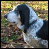 Basset azul de Gascuña - Razas de Perros