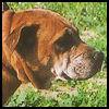 Dogo Mallorquín - Razas de Perros