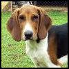 Foxhound Americano - Razas de Perros