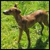 Galgo Español - Razas de Perros