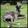 Greyhound - Razas de Perros