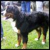 Perro de Montaña Bernés - Razas de Perros