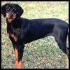 Sabueso austriaco negro y fuego - Razas de Perros