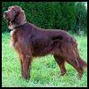 Setter Irlandés - Razas de Perros