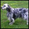 Setter irlandés rojo y blanco - Razas de Perros