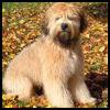 Wheaten Terrier - Razas de Perros
