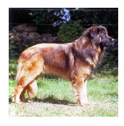 Perro de Montaña de la Sierra de la Estrela - Raza de Perro
