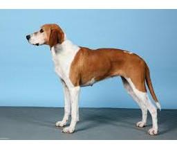 Sabueso de Hygen - Raza de Perro
