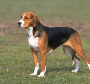 American Foxhound - Raza de Perro