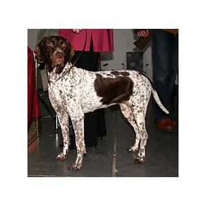 Antiguo perro de muestra Danés - Raza de Perro