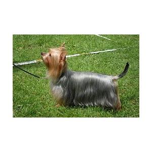Australian Silky Terrier - Raza de Perro