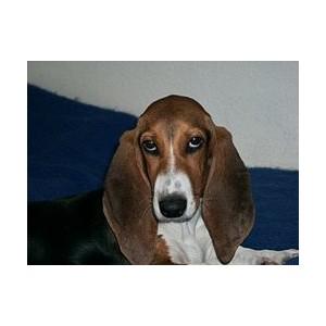 Basset artesiano de Normandia - Raza de Perro