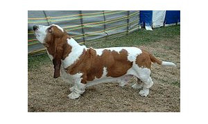 Basset Hound - Raza de Perro