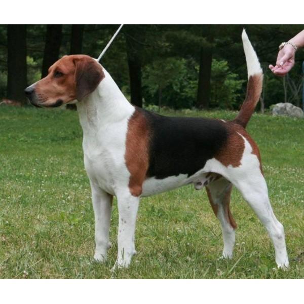 Beagle Harrier - Raza de Perro