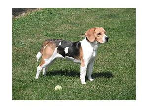 Beagle - Razas de Perros