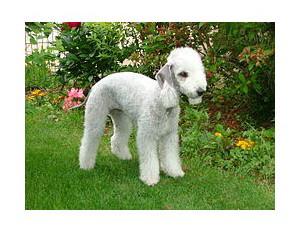 Bedlington Terrier - Raza de Perro