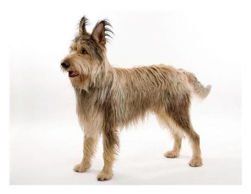 Berger de Picardie - Raza de Perro