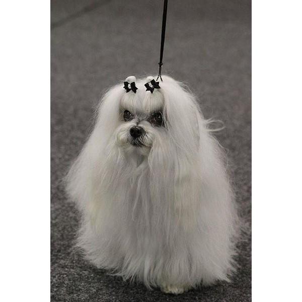 Bichón Maltés - Raza de Perro