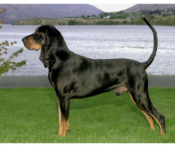Black And Tan Coonhound - Raza de Perro