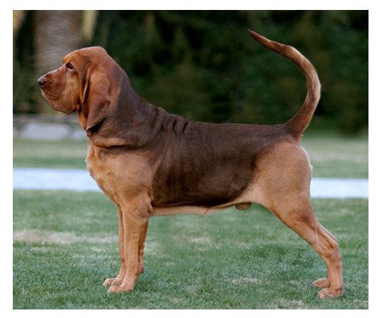 Bloodhound - Raza de Perro