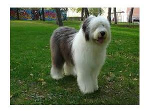 Bobtail - Raza de Perro