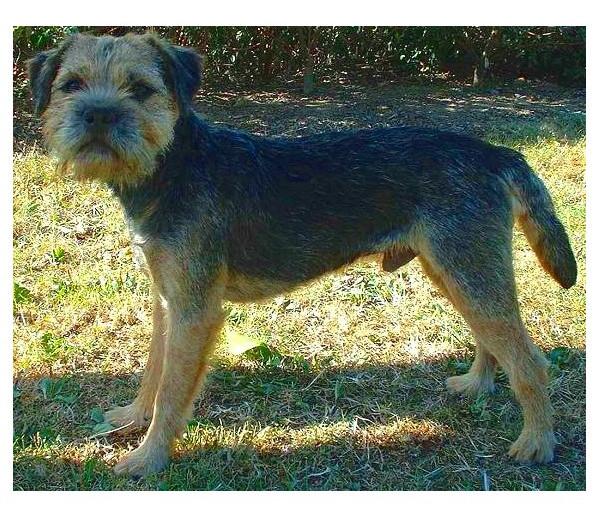 Border Terrier - Raza de Perro