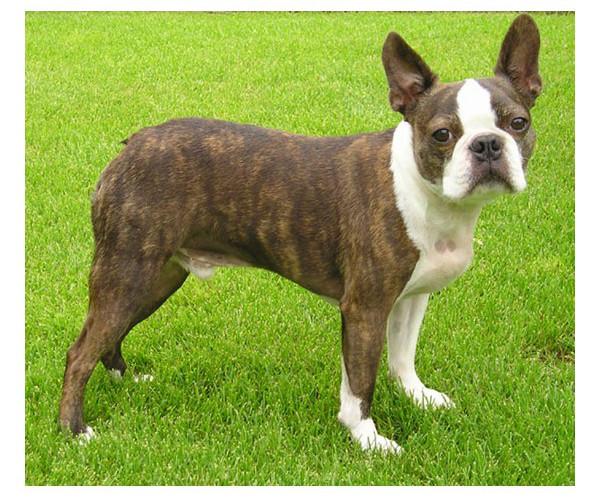 Boston Terrier - Raza de Perro