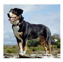 Perro Boyero de Entlebuch - Raza de Perro