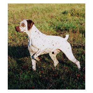 Braco de bourbonnais - Raza de Perro