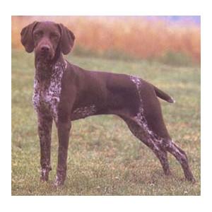 Braco francés tipo Pirineos - Raza de Perro