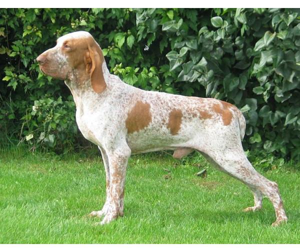 Braco italiano - Raza de Perro