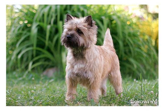 Cairn Terrier - Raza de Perro