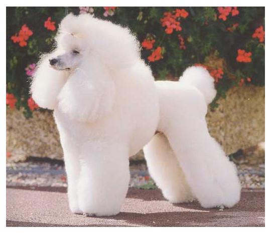 Caniche (poodle) - Raza de Perro