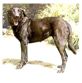 Perro de Castro Laboreiro - Raza de Perro