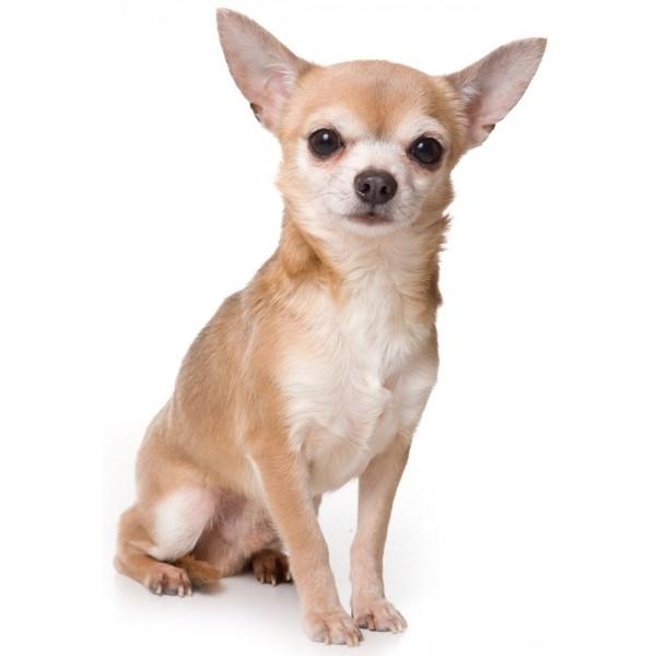 Chihuahua - Raza de Perro