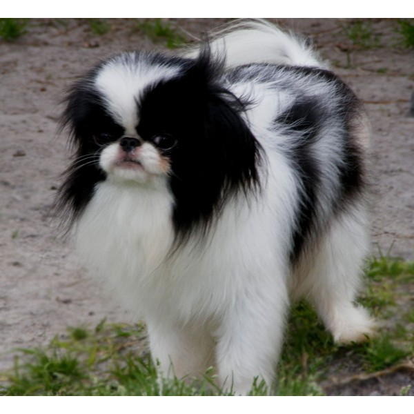 Chin japonés - Raza de Perro