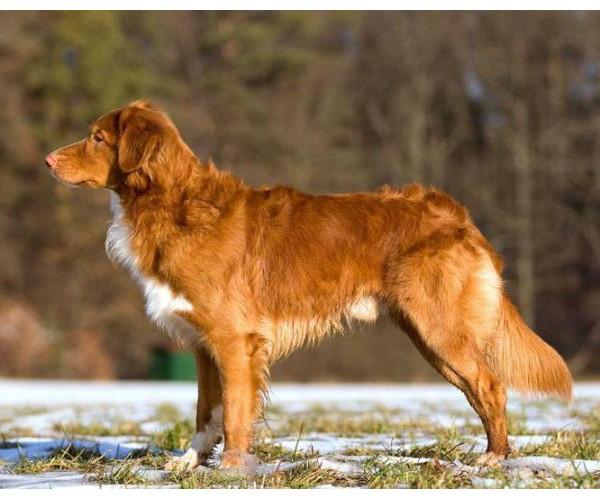 Cobrador de Nueva Escocia - Raza de Perro
