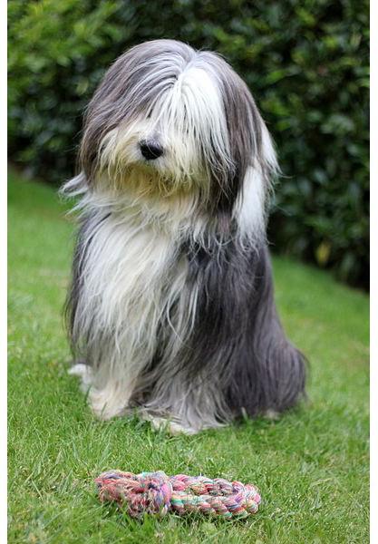 Collie Barbudo - Raza de Perro